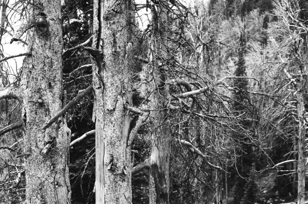 Debilitated trees (Grand Teton National Park, Wyoming)